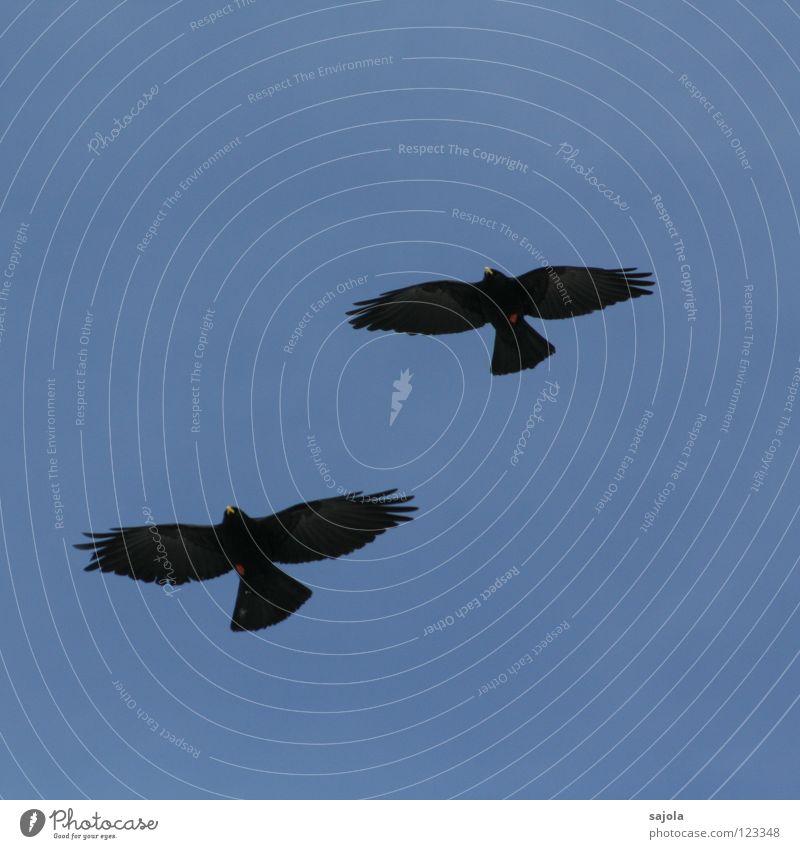 synchronflug Freiheit Luftverkehr Tier Wärme Alpen Wildtier Vogel Flügel 2 Tierpaar fliegen Zusammensein gelb rot schwarz ästhetisch Zusammenhalt Alpendohle