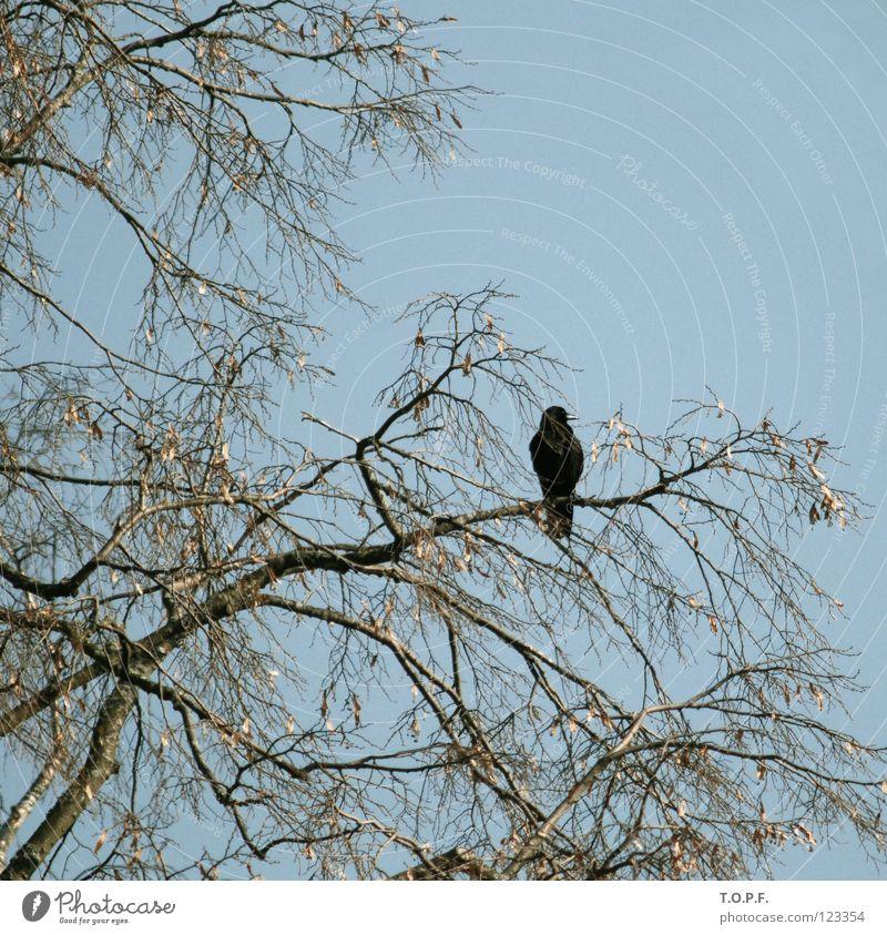 Blackbird Vogel Amsel Einsamkeit Baum Schweiz Himmel Ast fliegen karg Zweig Natur Flügel sitzen Freiheit