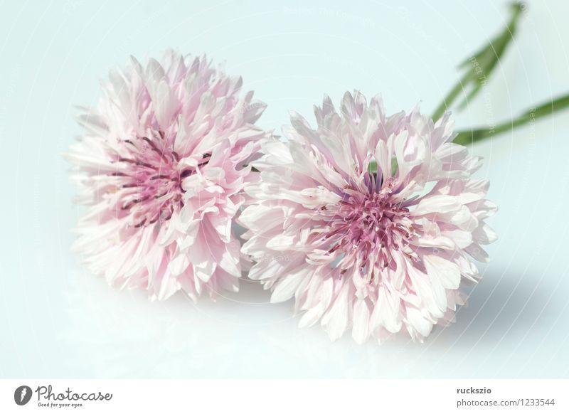 Kornblume; Centaurea; cyanus; Ackerpflanzen; Alternativmedizin Natur Pflanze Blume Blüte Wildpflanze Feld Blühend frei rosa weiß Flockenblume Kornblumenbluete