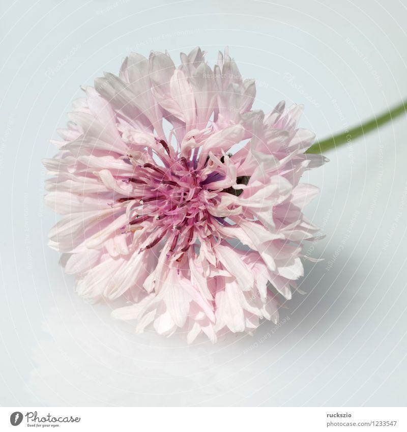 Kornblume; Centaurea; cyanus; Ackerpflanzen; Natur blau Pflanze weiß Blume schwarz Blüte Hintergrundbild rosa frei Blühend Alternativmedizin Heilpflanzen