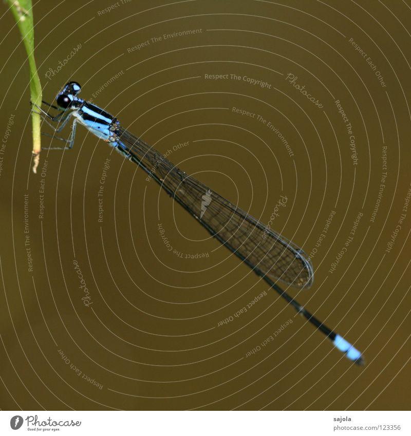 archibasis viola blau Tier Flügel Asien dünn Urwald hell-blau Singapore Libelle Veilchengewächse azurblau Facettenauge Klein Libelle
