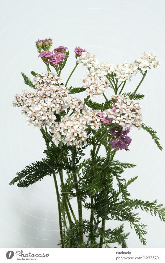 Schafgarbe; Achillea; millefolium; Alternativmedizin Natur Pflanze Wildpflanze Wiese Feld frei rosa schwarz weiß Gewöhnliche Schafgarbe Unkraut Ackerunkraut