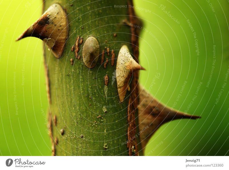 Dornen. grün Pflanze Garten Park Rose Ast Spitze Stengel Schmerz Zweig stechen Stich Pflanzenteile verletzen