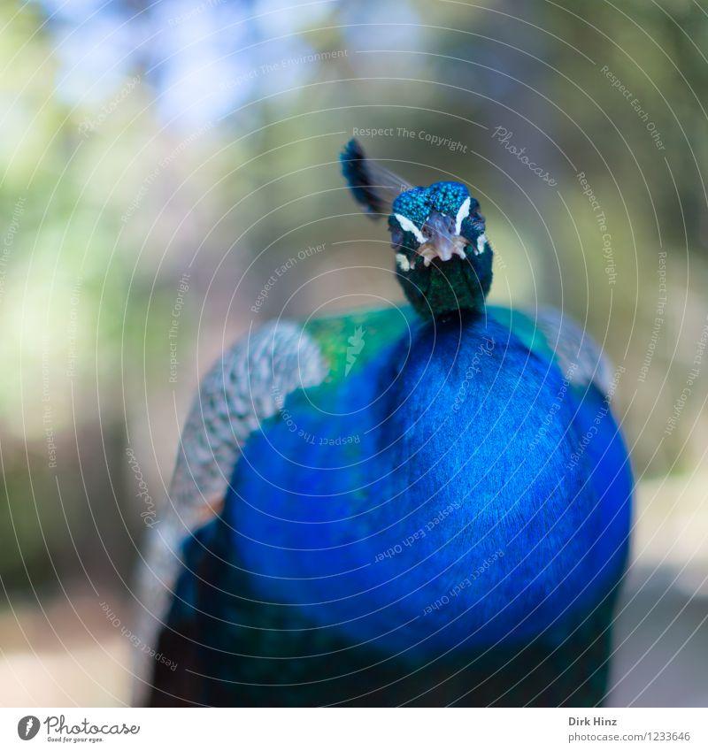 So ein Pfau Tier Wildtier Vogel Flügel Zoo 1 blau grün Feder Federvieh federartig Blick außergewöhnlich Perspektive Farbfoto Außenaufnahme Detailaufnahme