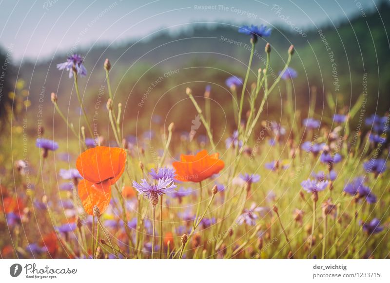 Mohn und Korn 1 Umwelt Natur Landschaft Pflanze Himmel Schönes Wetter Mohnblüte Kornblume Wiese Wald Berge u. Gebirge Thüringer Wald ästhetisch schön Wärme blau