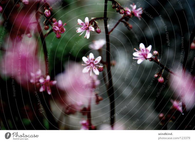 rosarot Blume Sommer Frühling Physik weich zart zerbrechlich Makroaufnahme Nahaufnahme Natur Wärme Wind Farbe Hauch