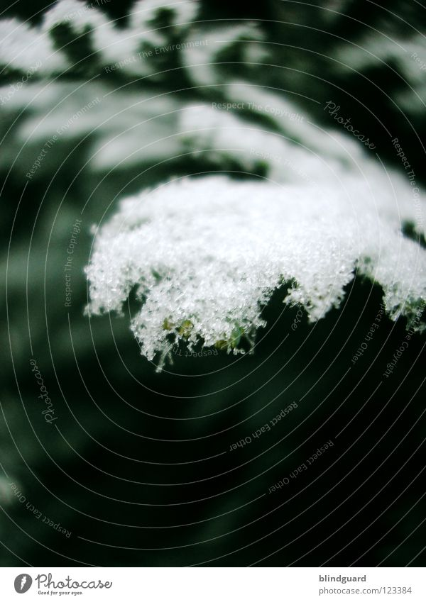 It Was So F***ing Cold Schneekristall Eiskristall Lebensbaum grün Blatt Winter kalt dunkel Makroaufnahme Baum erfrieren gefroren Dezember Januar Nahaufnahme