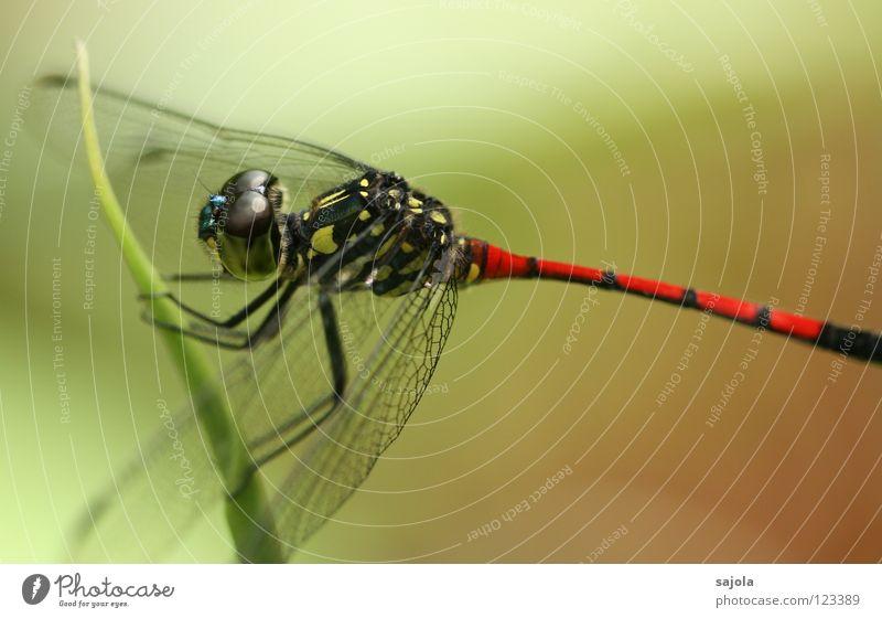 der drache ist los! rot schwarz Tier gelb Hinterteil Asien Flügel Insekt Schicksal gestreift Singapore Libelle Facettenauge