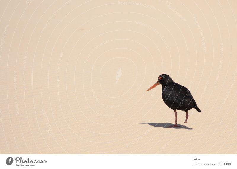 OYSTERCATCHER Vogel Strand schwarz Feder Nest p.b. oystercatcher ein bein oranger schnabel Schatten Sand geschrei krächzen fliegen Freiheit langer spaziergang