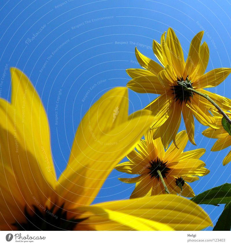 gelbe Blumen aus der Froschperspektive vor blauem Himmel Blüte Sonnenblume Blütenblatt Stengel Seite nebeneinander Zusammensein emporragend grün braun lang dünn