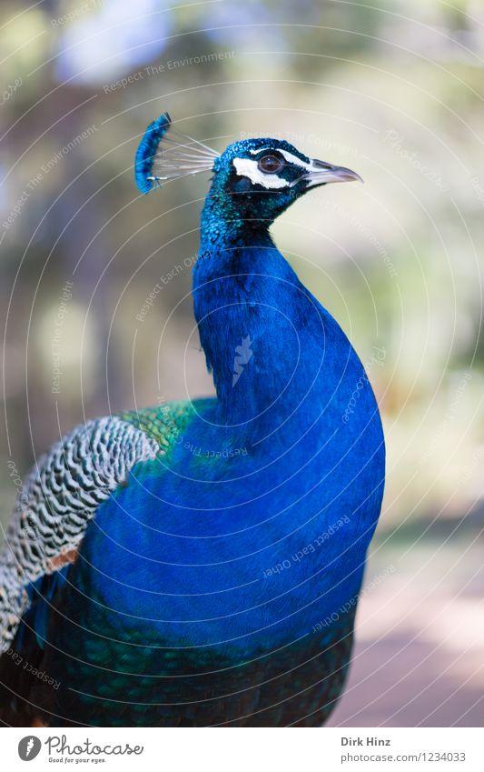 Pfau auf Lokrum Natur blau schön Tier Umwelt Gesundheit Vogel elegant Wildtier ästhetisch Flügel tierisch Schmuck Umweltschutz Tiergesicht Zoo