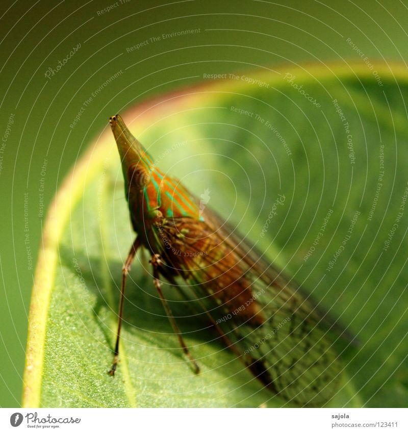 hopadihop again grün Tier Blatt Kopf orange Spitze Asien Insekt Urwald gestreift Zikade