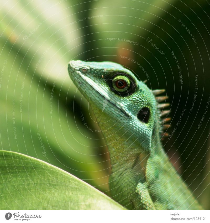 agame II grün Tier Blatt Auge Kreis lang Asien Urwald Reptil Echte Eidechsen Echsen Agamen Botanischer Garten