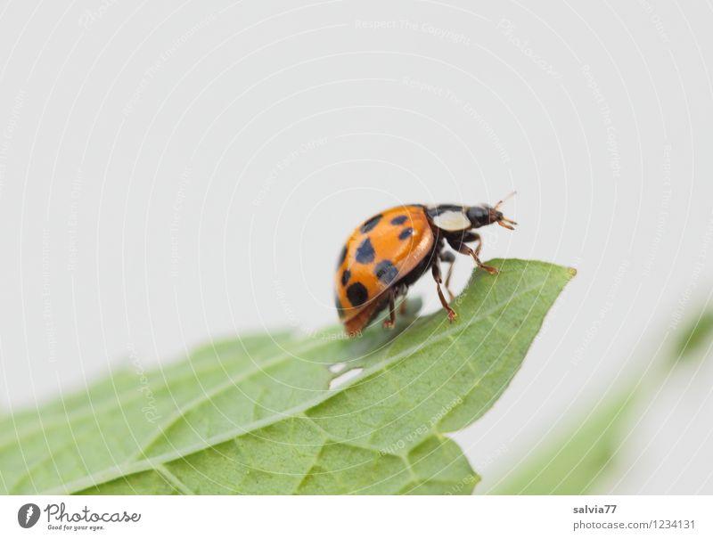 asiatischer Marienkäfer Natur Pflanze grün Sommer weiß Blatt Tier Umwelt Frühling Glück klein hell Horizont orange Wildtier Neugier