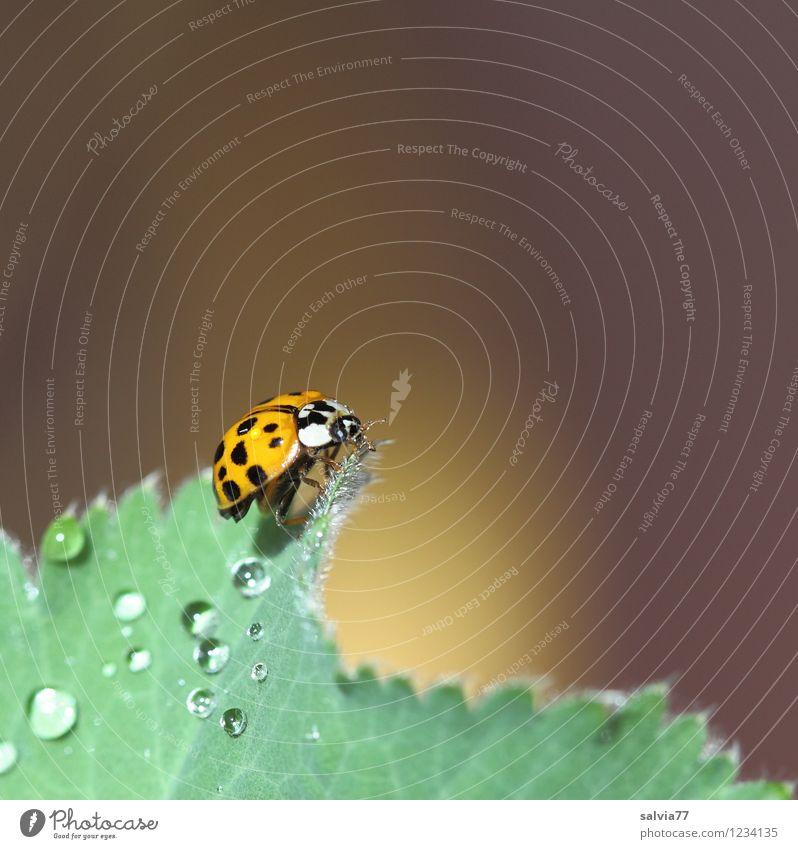 Morgens um 7 Natur Pflanze Tier Frühling Sommer Blatt Garten Wildtier Käfer Flügel 1 berühren glänzend krabbeln frisch Glück klein nass oben positiv weich braun