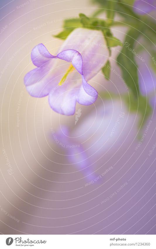 Glockenblume Natur Landschaft Sommer Pflanze Blume Blüte Garten Wiese gelb grün violett Farbfoto mehrfarbig Außenaufnahme Menschenleer Tag