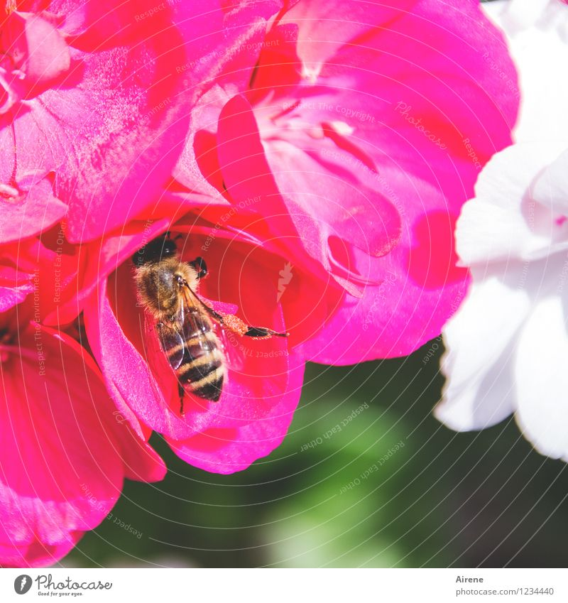 da muss noch mehr sein! Pflanze grün weiß Blume rot Tier Blüte natürlich fliegen rosa Arbeit & Erwerbstätigkeit frei genießen Suche Insekt Biene