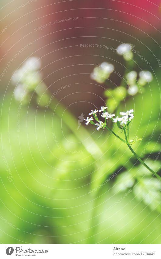 fein's Blümelein Kräuter & Gewürze Kerbel Pflanze Blüte Grünpflanze Nutzpflanze Küchenkräuter Garten frisch Gesundheit natürlich grün rot weiß Natur Wachstum