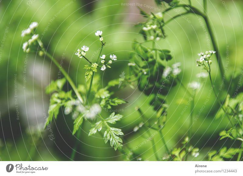 Kerbel Lebensmittel Kräuter & Gewürze Bioprodukte Vegetarische Ernährung Pflanze Gras Blatt Blüte Nutzpflanze frisch Gesundheit natürlich grün weiß