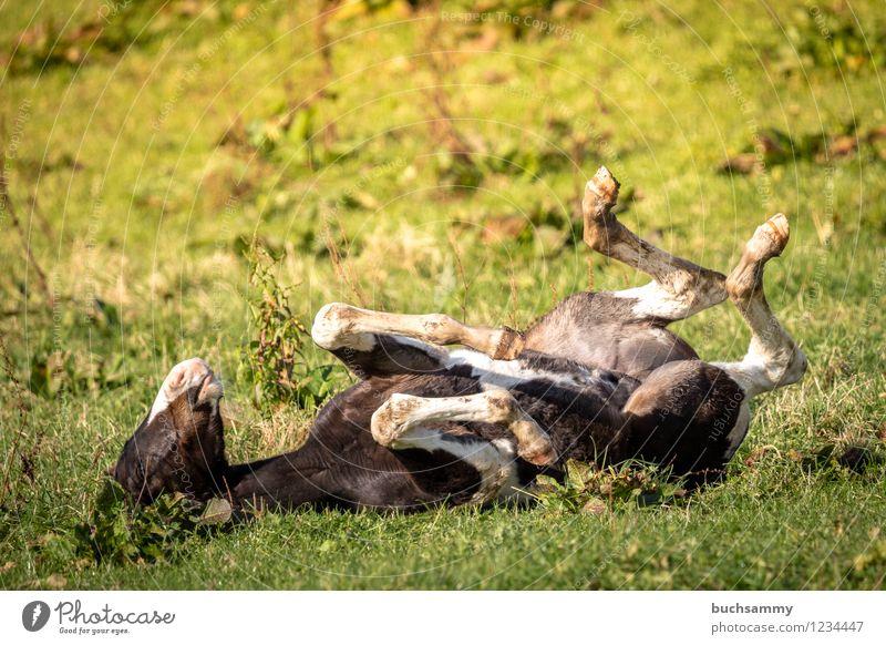 Glückliches Fohlen grün weiß Tier schwarz Tierjunges Wiese Gras braun Deutschland Pferd Weide Nutztier