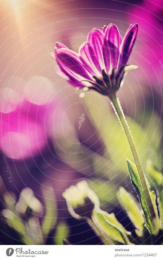 Empore elegant Stil Design harmonisch Natur Pflanze Sonnenaufgang Sonnenuntergang Sonnenlicht Sommer Blume Blatt Blüte Margeritenart Blütenstengel Blütenknospen