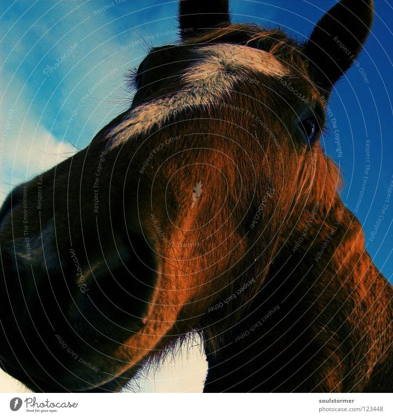 digge Nase! Himmel weiß blau Tier Freiheit grau braun Pferd Ohr Säugetier Cowboy Verzerrung Mähne Pferdegangart Gelbstich