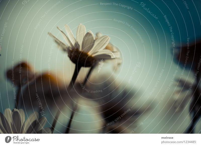 Verdunkelung elegant Stil Design Natur Pflanze Himmel Sommer Schönes Wetter Blume Blüte Wildpflanze Topfpflanze Margerite Blütenstiel Garten Blühend genießen