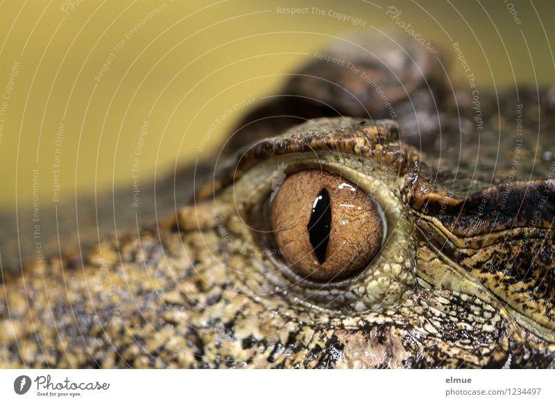 im Visier Kaiman Reptil Auge Wachsamkeit beobachten bedrohlich Urzeit Beutezug Momentaufnahme Blick gruselig braun gelb selbstbewußt Respekt Misstrauen Angst