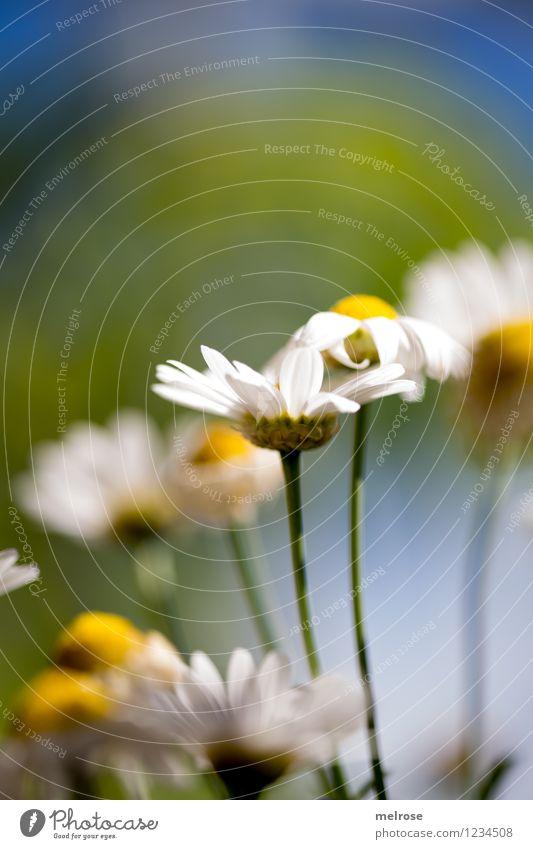 stick together Himmel Natur Pflanze blau grün schön Sommer weiß Blume gelb Blüte Stil Garten Freundschaft Design Zufriedenheit