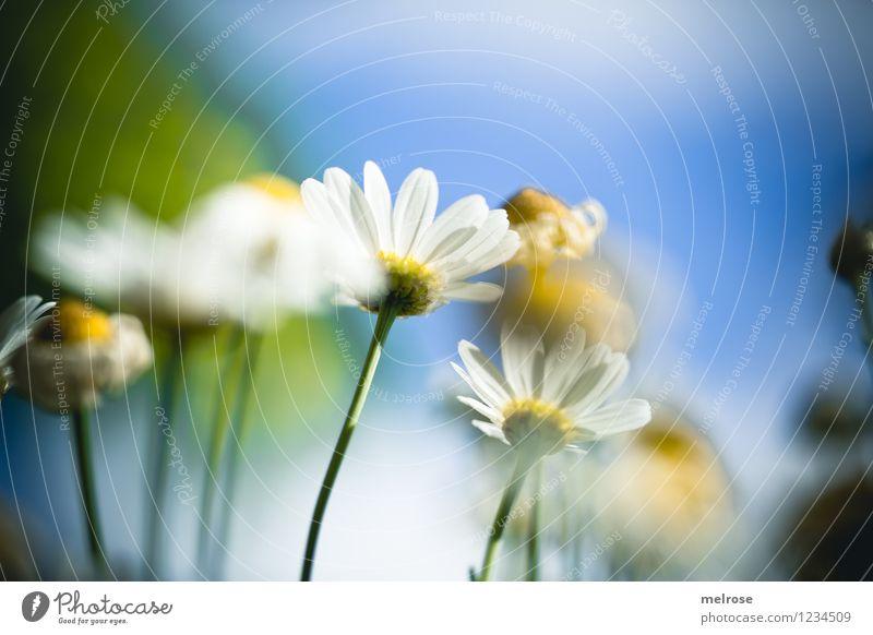 sunny day elegant Stil Design Natur Pflanze Himmel Wolken Sonne Sommer Schönes Wetter Blume Blüte Wildpflanze Topfpflanze Margeritenstock Blütenstengel Garten