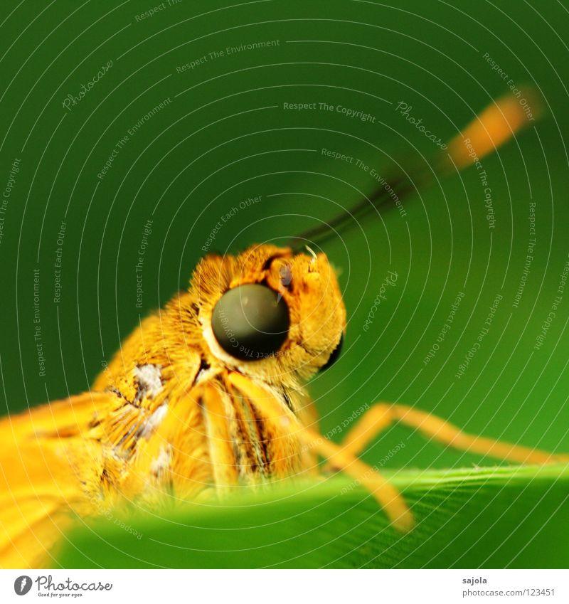 aye, aye, skipper grün Auge Tier gelb Beine orange nah Asien Insekt Schmetterling Neugier dick Gesichtsausdruck Facettenauge Dickkopf Dickkopffalter