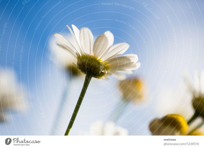 you are my sunshine elegant Stil schön Natur Pflanze Himmel Sonne Sommer Schönes Wetter Blume Blüte Wildpflanze Topfpflanze Margerite Blütenknospen Blütenstiel