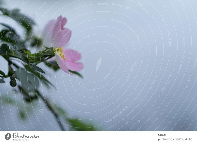 Rosa Blume harmonisch Wohlgefühl Zufriedenheit Erholung ruhig Meditation Garten Umwelt Natur Pflanze Tier Blatt Blüte Grünpflanze Seeufer beobachten Blühend