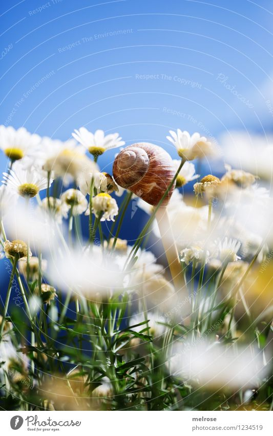 down under elegant Stil Design Natur Pflanze Himmel Wolkenloser Himmel Sommer Schönes Wetter Blume Blüte Wildpflanze Topfpflanze Margerite Blütenstiel Garten