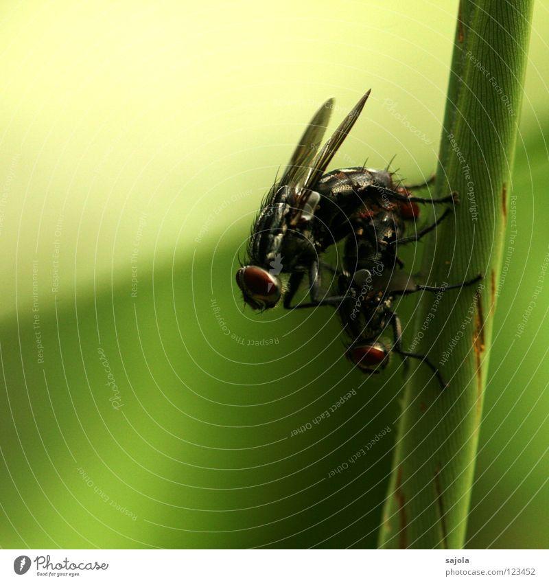 1+1=80 grün Tier dunkel 2 Fliege Tierpaar Flügel Insekt Stengel Halm