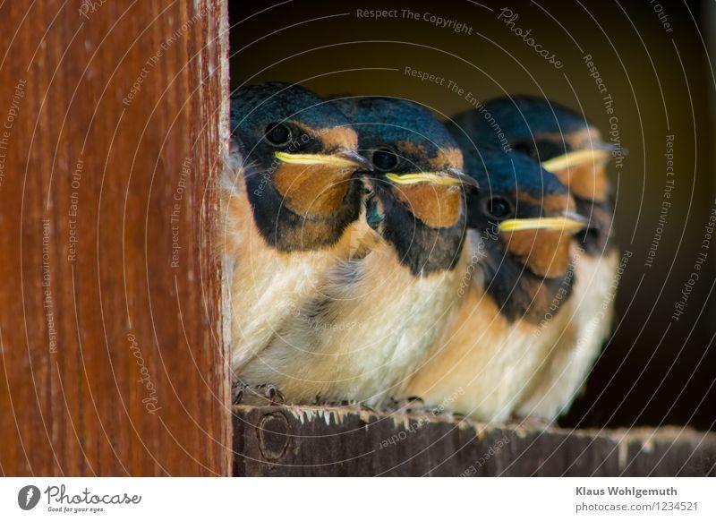 Vierlinge ( Boygroup? ) Yeah, Yeah, Yeah Umwelt Natur Tier Frühling Sommer Tür Wildtier Vogel Flügel Krallen Rauchschwalbe 4 Tiergruppe Tierjunges Tierfamilie