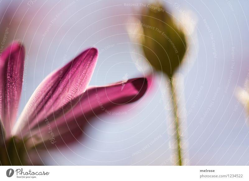Berührung Stil Design Natur Pflanze Himmel Frühling Schönes Wetter Blume Blüte Wildpflanze Topfpflanze Margerite Blütenknospen Blütenstiel Garten Blühend