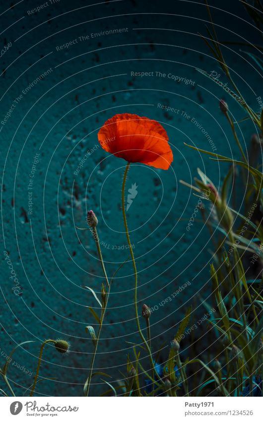 Mohn Natur Pflanze schön rot Einsamkeit Blüte natürlich Idylle Gelassenheit Leichtigkeit Mohnblüte
