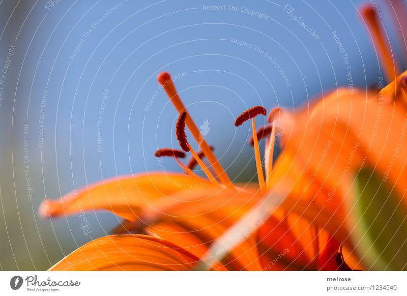 orange - blau elegant Stil Design Natur Pflanze Himmel Sommer Schönes Wetter Blume Blüte Wildpflanze Topfpflanze Lilienblüte Liliengewächs Blütenstempel Garten