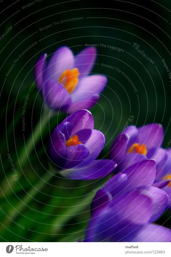 frühlingsboten II Blume grün Freude schwarz gelb Blüte Frühling Wärme orange klein Fröhlichkeit Wachstum offen violett zart Blühend