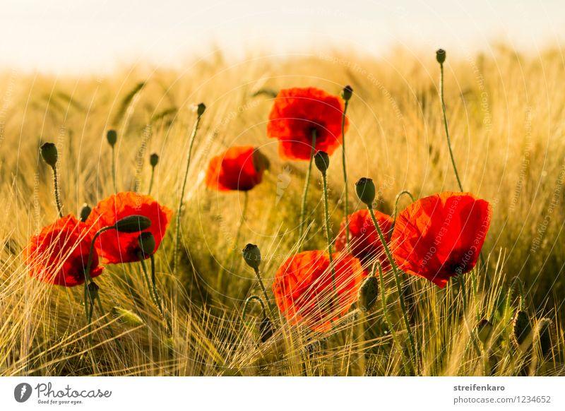 Mohn am Morgen Natur Pflanze schön Sommer Sonne Erholung rot Landschaft ruhig Umwelt gelb Blüte Glück Zufriedenheit Feld Wachstum