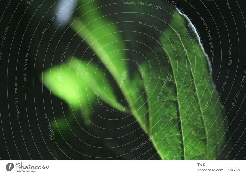 Blatt Natur Pflanze grün Sommer ruhig Frühling Bewegung natürlich leuchten frisch elegant authentisch ästhetisch Blühend einfach