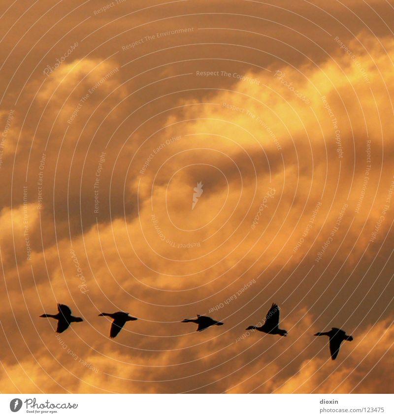 I Like Birds *50* Wolken Freiheit Vogel fliegen frei Tiergruppe Flügel Unendlichkeit Reihe Fernweh Abenddämmerung Gans Formation schlechtes Wetter Führer