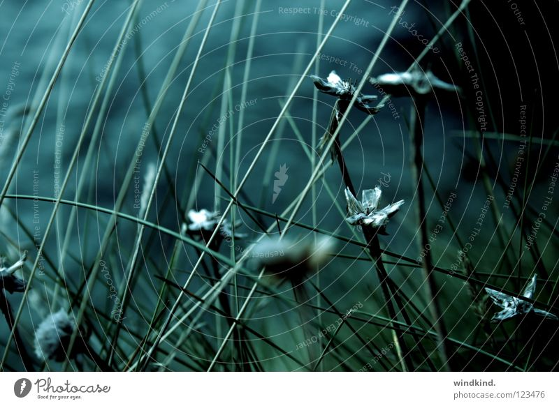 Twilight Licht Dämmerung Brise Meer grün Wind verweht kalt frisch Blume Schilfrohr Strand Wachstum rau Küste Makroaufnahme Nahaufnahme Abend blau wehen Wildtier