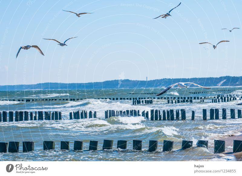 Möwen kreisen über Buhnen am Ostseestrand Freizeit & Hobby Ferien & Urlaub & Reisen Meer Natur Tier Vogel Schwarm historisch blau Idylle Silbermöwe