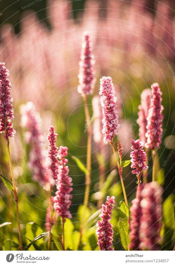 Sonnenblume Natur Pflanze grün Sommer Erholung rot ruhig Wärme Leben Gefühle Wiese natürlich Garten rosa Park