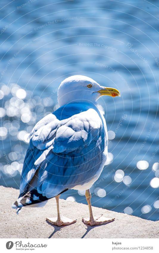 Silbermöwe sitzt im Gegenlicht Natur Tier Wasser Ostsee Hafen Vogel sitzen rund blau Larus argentatus Pontoppidan Mole Reflektionen sonnig hellt Abnedstimmung