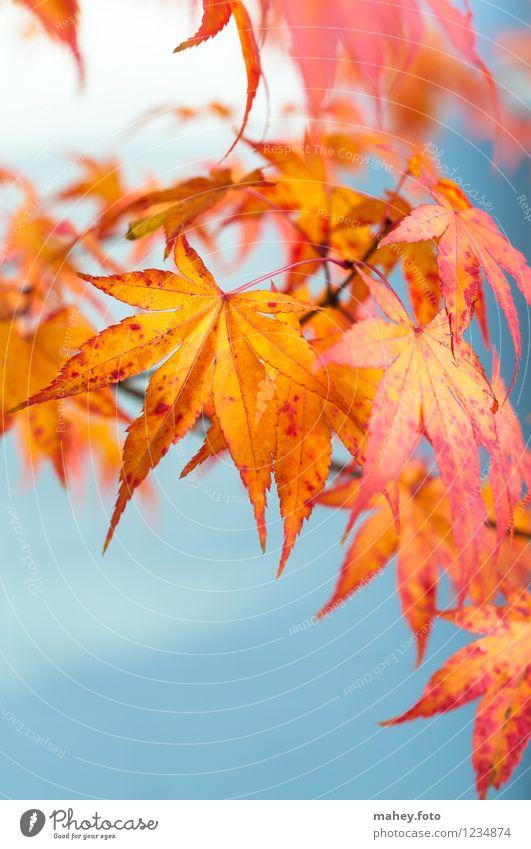 herbstlich Natur Pflanze schön rot Blatt ruhig gelb Wärme Herbst Garten Park gold Schönes Wetter Hoffnung Jahreszeiten Herbstlaub