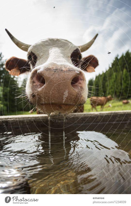 Hmm. Wasser. Natur Landschaft Sommer Klima Wetter Wärme Alpen Tier Nutztier Kuh Fliege 1 Blick trinken lustig nass Neugier Erholung Viehtränke Weide Durst