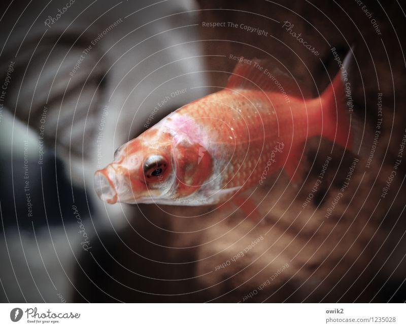 Tief einatmen Fisch Goldfisch 1 Tier Schwimmen & Baden Müdigkeit Offener Mund Aquarium Wasser nass Unterwasseraufnahme Farbfoto Gedeckte Farben Innenaufnahme